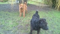 Lakeland Terrier Puppies for sale in Los Angeles, CA, USA. price: NA