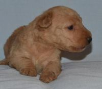 Lakeland Terrier Puppies for sale in Alma Center, WI 54611, USA. price: NA