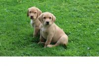Lakeland Terrier Puppies for sale in Cleveland, OH, USA. price: NA