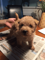 Lakeland Terrier Puppies for sale in Putnam Valley, NY 10579, USA. price: NA