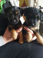 Lakeland Terrier Puppies for sale in Bloomfield Ave, Bloomfield, CT 06002, USA. price: NA