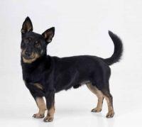 lancashire heeler dog