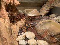 Leopard Gecko Reptiles for sale in Cedarburg, WI, USA. price: NA