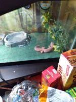 Leopard Gecko Reptiles for sale in Colerain Ave, Cincinnati, OH, USA. price: NA