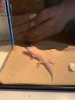 Leopard Gecko Reptiles for sale in Monroe Township, NJ 08831, USA. price: NA