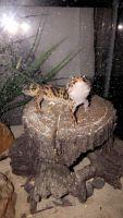 Leopard Gecko Reptiles for sale in Fullerton, CA, USA. price: NA