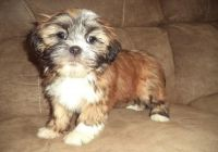 Lhasa Apso Puppies for sale in Alachua, FL, USA. price: NA