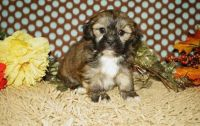 Lhasa Apso Puppies for sale in Oak Park, MI 48237, USA. price: NA