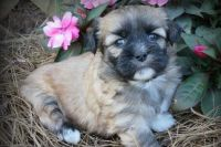 Lhasa Apso Puppies for sale in Anaheim, CA, USA. price: NA