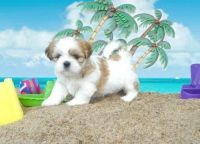 Lhasa Apso Puppies for sale in Brownsville, West Windsor, VT 05089, USA. price: NA