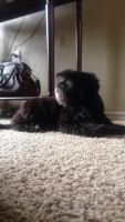 Lhasa Apso Puppies for sale in San Antonio, TX, USA. price: NA