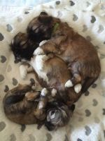 Lhasa Apso Puppies for sale in Colorado Springs, CO, USA. price: NA