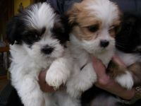 Lhasa Apso Puppies for sale in Jersey City, NJ, USA. price: NA