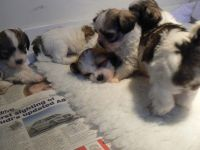 Lhasa Apso Puppies for sale in Rialto, CA, USA. price: NA