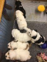 Lhasa Apso Puppies for sale in Bloomfield, CT, USA. price: NA