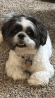Lhasa Apso Puppies for sale in Missouri City, TX, USA. price: NA