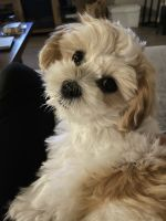 Lhasa Apso Puppies for sale in Spring, TX 77373, USA. price: NA