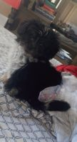 Lhasa Apso Puppies for sale in Boston, MA, USA. price: NA