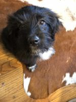 Lhasapoo Puppies for sale in San Antonio, TX, USA. price: NA