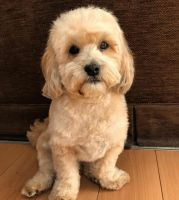 lhasapoo dog