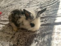 Lionhead rabbit Rabbits for sale in Crestway Rd, San Antonio, TX, USA. price: NA