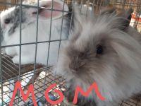 Lionhead rabbit Rabbits for sale in Muskogee, OK, USA. price: NA
