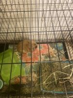 Lionhead rabbit Rabbits for sale in East Freetown, Freetown, MA, USA. price: NA