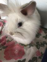 Lionhead rabbit Rabbits for sale in Ecorse Rd, Romulus, MI, USA. price: NA