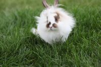 Lionhead rabbit Rabbits for sale in Pittsboro, IN 46167, USA. price: NA