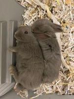 Lionhead rabbit Rabbits for sale in Marietta, GA, USA. price: NA
