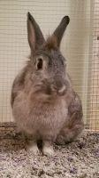Lionhead rabbit Rabbits for sale in Ontario, NY 14519, USA. price: NA