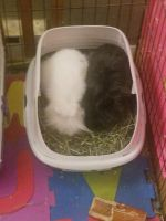 Lionhead rabbit Rabbits for sale in Tacoma, WA, USA. price: NA
