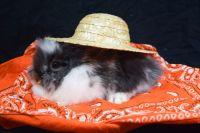 Lionhead rabbit Rabbits for sale in Wyoming, MI, USA. price: NA