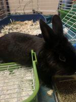 Lionhead rabbit Rabbits for sale in Norfolk, VA 23505, USA. price: NA