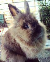 Lionhead rabbit Rabbits for sale in Orlando, FL, USA. price: NA