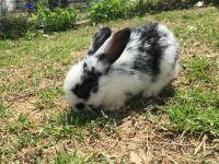 Lionhead rabbit Rabbits for sale in Antioch, Nashville, TN 37013, USA. price: NA