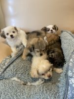Long Haired Chihuahua Puppies for sale in Lindenhurst, NY 11757, USA. price: NA