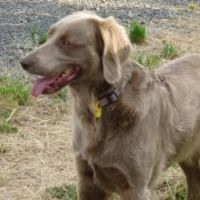 longhaired weimaraner dog