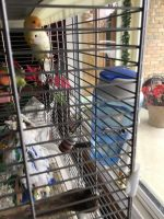 Lovebird Birds for sale in Lima, OH, USA. price: NA