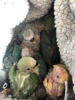 Lovebird Birds for sale in Downey, CA, USA. price: NA