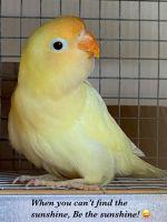 Lovebird Birds for sale in Oceanside, CA, USA. price: NA