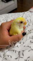 Lovebird Birds for sale in Bentonville, AR, USA. price: NA