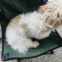 Lowchen Puppies Photos