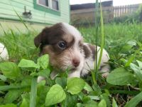 Lucas Terrier Puppies Photos