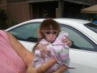 Macaque Animals for sale in Fresno, CA, USA. price: NA
