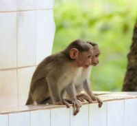 Macaque Animals for sale in New York, NY, USA. price: NA