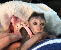 Macaque Animals for sale in Del Rey Oaks, CA 93940, USA. price: NA