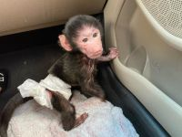 Macaque Animals for sale in 30301 Carter St, Solon, OH 44139, USA. price: NA