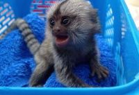 Macaque Animals for sale in Montreat, NC, USA. price: NA