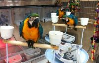 Macaw Birds for sale in Florida, NY, USA. price: NA